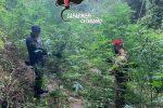 Scoperta una nuova piantagione di marijuana a Tiriolo, distrutte 150 piante