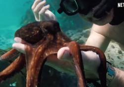 «My Octopus Teacher», la storia incredibile dell'uomo che si è innamorato di un polpo Il film racconta un anno di incontri tra il regista.documentarista Foster e l'animale. «Sono entrato nel suo mondo segreto. E ho capito cose nuove sulla scienza». Il nuovo film-documentario da settembre...