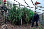 Scoperte due piantagioni di droga a Montebello Jonico, sventato affare da 300 mila euro