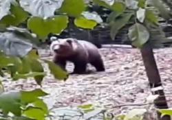 Trentino: c'è un orso nell'orto Il video girato nella zona di Brez, in Val di Non - CorriereTV