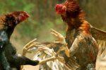 Filippine, gallo da combattimento uccide un poliziotto durante un raid