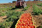 Pomodoro Siccagno di Valledolmo, +20% di richiesta e fatturato da un milione l'anno