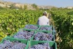 Cirò, la vendemmia è terminata: ma la quantità dell'uva cala del 40-50%