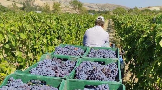 cirò, vendemmia, vino, Catanzaro, Calabria, Economia