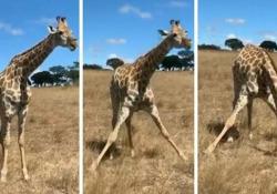 Come fanno le giraffe a mangiare l'erba del prato? Le giraffe sono creature affascinanti - CorriereTV