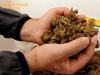 Marijuana spedita per posta dalla Sardegna a Messina: sequestro da 60 mila euro