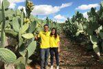 Sicilia, iniziata la seconda raccolta di fichidindia: ottima qualità ma quantità non elevate