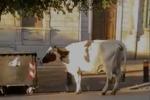 A Messina mucca a passeggio fra le auto in via Tommaso Cannizzaro