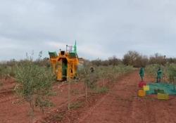 Xylella in Puglia, la Favolosa si è scoperta resistente alla peste degli ulivi Nel campo dell'imprenditore Cosimo Primiceri di Casarano, il primo a credere nella cultivar Fs-17, laddove c'erano ulivi ingialliti si torna a produrre olio, la Xylella ha finalmente trovato la sua resistenza ...