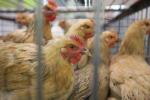 Secondo allarme Efsa sull'aviaria, segnalato caso in Corsica