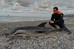 Delfino muore in spiaggia a Patti Marina