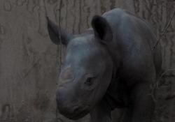 Inghilterra, raro rinoceronte nato allo zoo di Chester Si tratta di un esemplare unico: un cucciolo di rinoceronte nero orientale - Ansa