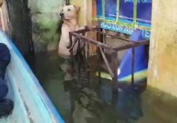 Messico: il cane spaventato si aggrappa al davanzale fino all'arrivo dei soccorsi L'uragano Eta ha causato forti piogge e inondazioni. La Marina messicana ha salvato un Labrador che si era aggrappato alla griglia di una finestra - CorriereTV