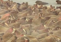 Migliaia di trichechi nel mar Glaciale Artico: «Un segno incoraggiante» Il tricheco è minacciato dal riscaldamento globale e dall'attività dell'uomo - CorriereTV
