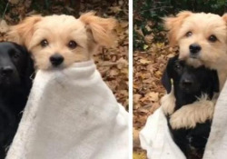 Un momento di dolcezza: i cagnolini si abbracciano teneramente in una coperta Un cagnolino mette la zampa attorno al suo migliore amico per scaldarsi - CorriereTV