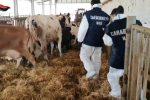 """""""Tu vendi i vitelli e poi viene Gratteri"""" le intercettazioni tra l'allevatore e il veterinario"""