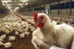 Un uomo contagiato dal virus dell'influenza aviaria in Cina: è in terapia intensiva
