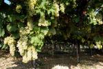 Dal Crea innovazione e sostenibilità in viticoltura ed enologia