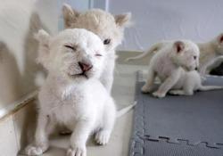 Dolcissimi e molto rari: ecco i leoncini bianchi nati in Cina I quattro cuccioli, nati a novembre al Nantong Forest Safari Park di Jiangsu, nella Cina orientale, si preparano alla loro prima uscita pubblica - CorriereTV