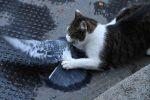 Il gatto Larry sul malcapitato piccione (ANSA)