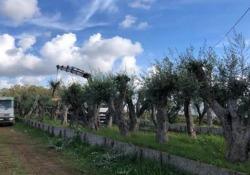 Gli ulivi del gasdotto Tap tornano «a casa» - Corriere Tv