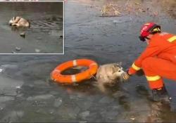 I vigili del fuoco salvano un husky da un lago ghiacciato con l'aiuto di un salvagente Le immagini da Pechino: l'animale era caduto nel lago a -8°C - CorriereTV