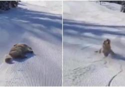 Il cane che si fa scivolare sulla pista da sci è il video più dolce di oggi «Il più bel giorno di sempre» recita la didascalia al post diventato virale - CorriereTV