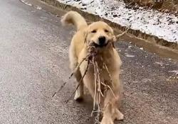 Il Golden Retriever scivola sulla strada ghiacciata e porta il bastone alla proprietaria Il simpatico video girato in Cina - CorriereTV