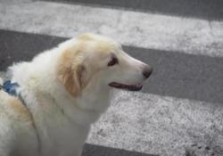 La storia non a lieto fine di Tommaso Il viaggio della Lav per dare una casa a un cane da troppo tempo in canile - Corriere Tv