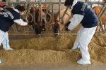 Operazione Fox sugli animali macellati in Calabria: i nomi degli arrestati