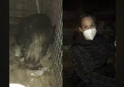 Piccolo di cinghiale salvato in un parco di Roma. La mamma e i fratelli vennero narcotizzati e uccisi a metà ottobre - Corriere Tv