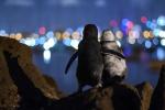 I pinguini vedovi si consolano: è la foto dell'anno per la rivista Ocean Photograph