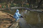 È allerta per l'influenza aviaria in India, abbattuti 40mila volatili