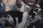 Gattino intrappolato in casa per un mese. Sopravvive mangiando zucchero