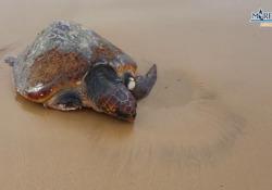 Agrigento, tartaruga senza una zampa trascinata a riva dalla mareggiata: salvata L'animale trovato sulla battigia della spiaggia di Maddalusa: era in pessime condizioni - Corriere Tv