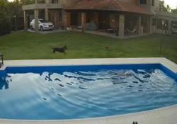 Il cane salva il suo compagno cieco finito nella piscina Il cane era caduto accidentalmente nella piscina di un'abitazione in Argentina e rischiava di annegare - CorriereTV