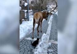 Il cervo e il gatto nero: l'incontro da favola nel paesino dell'Abruzzo L'incontro tra un cervo e un gatto nero per le vie di Villetta Barrea, un piccolo comune italiano che conta 611 abitanti della provincia dell'Aquila, in Abruzzo, è virale sui social - CorriereTV