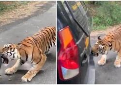 La grossa tigre del Bengala stacca il paraurti del fuoristrada dei turisti Il video catturato nel Parco Nazionale Bannerghatta, vicino a Bangalore, in India - CorriereTV