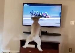 Questo cane va matto per le corse dei cavalli alla tv «Bella» inizia a saltare davanti allo schermo appena pare la corsa - CorriereTV