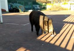 Salvata Vittoria, la cinghialina che rifugiata nel giardino di una chiesa: ora è in un'oasi a Perugia I volontari della Lega per la difesa degli animali e dell'ambiente hanno salvato il cinghiale che si rifugiato all'interno di un campo sportivo di una chiesa della Capitale, scongiurandone l'...