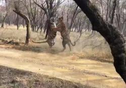 «Scontro tra titani»: la lotta tra due grosse tigri nel parco nazionale indiano Il filmato mostra due tigri che improvvisamente iniziano ad azzuffarsi - CorriereTV