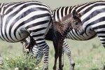 Zebre a pois e a pelo dorato: mutazioni pericolose