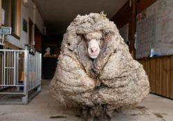Baarack, la pecora con 35 kg di vello Liberata dall'enorme peso e salvata dai soccorritori nella foresta australiana - Corriere Tv