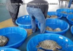 Gelo in Texas, salvate migliaia di tartarughe: protette in ripari al caldo IlSouth Padre Island Convention & Visitors Bureau hanno messo al sicuro 3500 esemplari - LaPresse/AP
