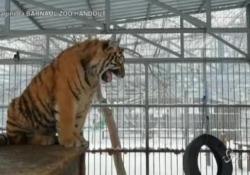 La tigre Vitas conquista i visitatori dello zoo in Siberia: il suo ruggito è come il vagito di un neonato Allo zoo di Barnaul in Sibera è già una star - LaPresse/AP