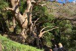 Albero dell'anno, la Regione sostiene il platano di Curinga