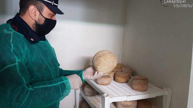formaggi, mancato tracciamento, prodotti caseari, san lorenzo del vallo, sequestro, Cosenza, Cronaca