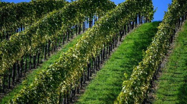 agricoltura, risorse, ristrutturazione vigneti, Calabria, Economia
