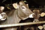 Odissea bovini nel Mediterraneo: Ue chiede a Grecia di intervenire