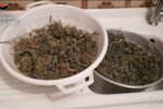 Palermo, producono tonnellate di marijuana per tutta la Sicilia